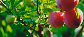 frutos buenos