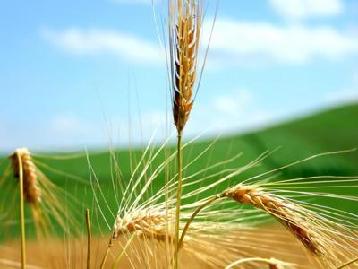 trigo y cizaña 2